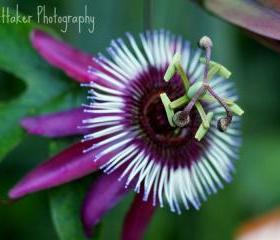 Passion Flower 10x10 fine art photograph