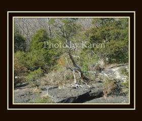 Fallen Tree 5 x 7 Original Photograph, other sizes available