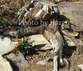 Roots 5 x 7 Original Photograph, other sizes available