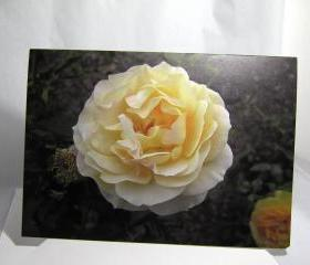 Pastel Yellow Rose Note Card - Balboa Park Rose Garden, San Diego, California