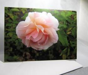Pink Rose Greeting Card - Balboa Park Rose Garden, San Diego, California
