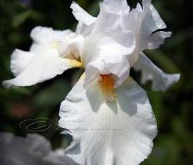 Flower Photo, iris photo, macro photo, white dream, 10x10&quot;