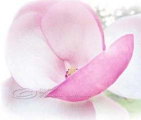 "Flower Photo pink magnolia close up blossom pink light 8x10"" print"