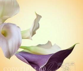 Flower Photo, calla lily photo, purple white yellow, 5x5&quot; print