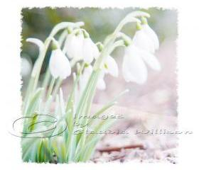 Flower Photo, snowdrops, dreamy white spring photo, easter, 8x8&quot; print