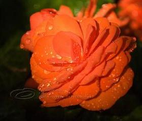 Flower Photo, Begonia photo, raindrops photo, orange 8x10&quot; print