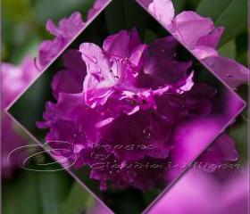 "Flower Photo, spring time, purple photo, pink light shade contrast, 5x5"" print"
