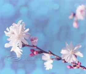 Spring photo home decor white blossom pink dream fine art 11x14&quot; print
