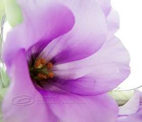 Flower Photo, macro photo, purple dreaming, spring time, bloom 8 x10&quot;