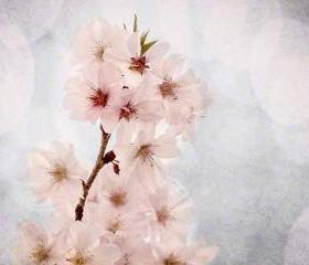 White blossoms spring photo cherry home decor pink 8x10&quot; print