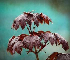 Rain photo spring raindrops maple home decor teal 8x10&quot; print