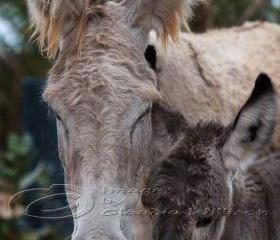 Animal photo donkey family baby close up 8x12&quot; print
