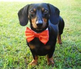 Wedding Dog Bow Tie: Cat or Dog