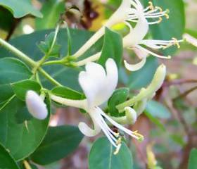 Halls Japanese Honeysuckle - 3 plants