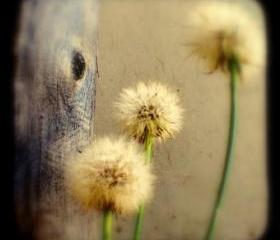 Dandelion Photograph 5x5 TtV Nature Photography - Tree Hugging Dandelions Rustic Home Decor Print