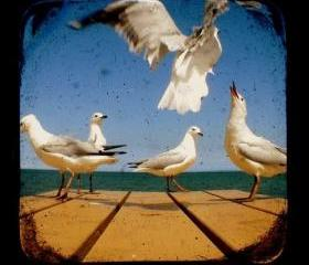 Bird Photography 5x5 TtV Seagulls Photo Print - Animal, Wildlife Photograph Wall Decor