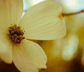 dogwood days 8x10 print