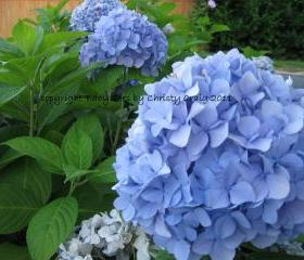 Blue Hydrangea