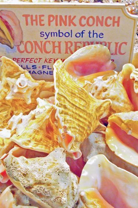 Pink Conch Shells in Key West 8x10 inch Photo